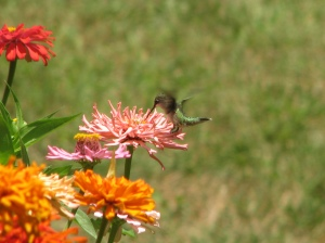 My garden attracts hummingbirds and butterflys.