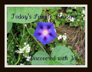 Morning glory and babcopia blossoms bring me joy.