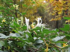Have you ever smelled honeysuckle in bloom?