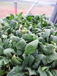 I grew this tray of spinach in my greenhouse this winter.  I harvested spinach for Thanksgiving, Christmas, and it's ready again. I'll keep it growing until the spinach in the garden is ready.