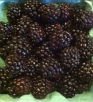 U Pick Blackberries.  What to do with berries when you get home?