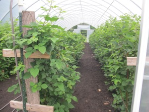 Inside the high tunnel.  The vigorous canes on the right are raspberries.  The winter did not effect them near as much as the blackberries because they can tolerate colder temperatures.